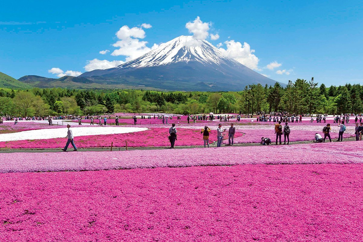 Fuji Shibazakura Festival Private Package Tour