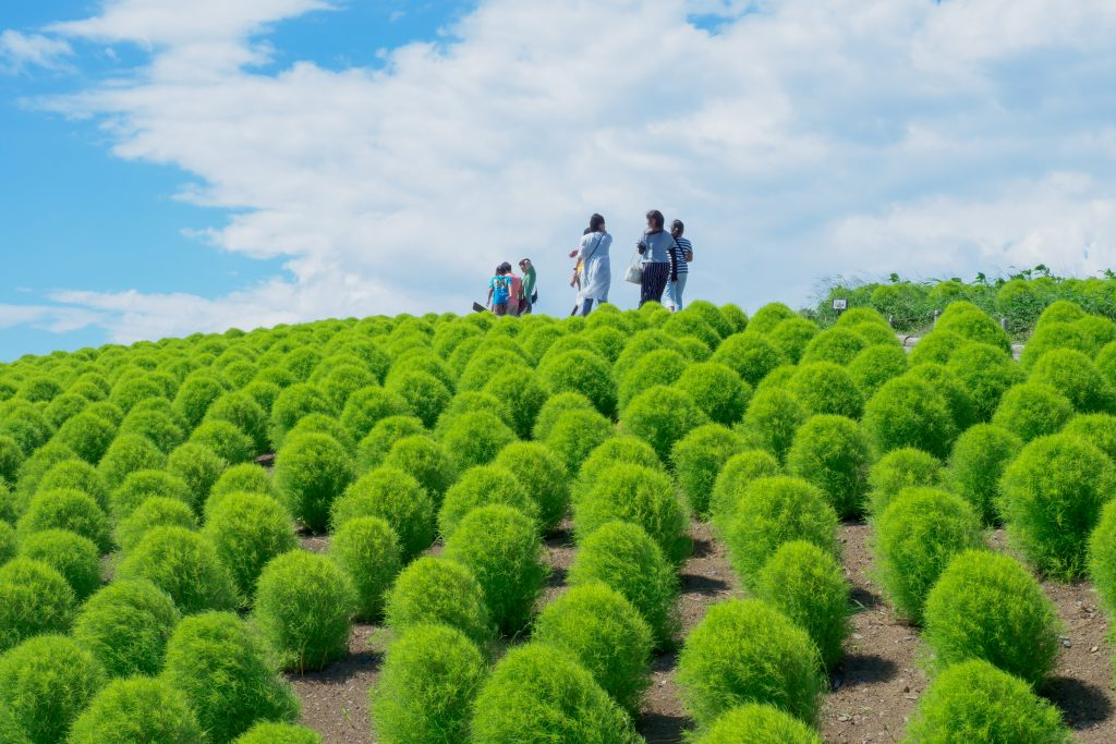 Hitachi Green Kochia Festival Hitachi Seaside Park