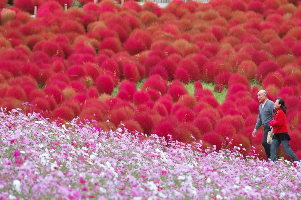 Hitachi Red Kochia Festival Private Package Tour