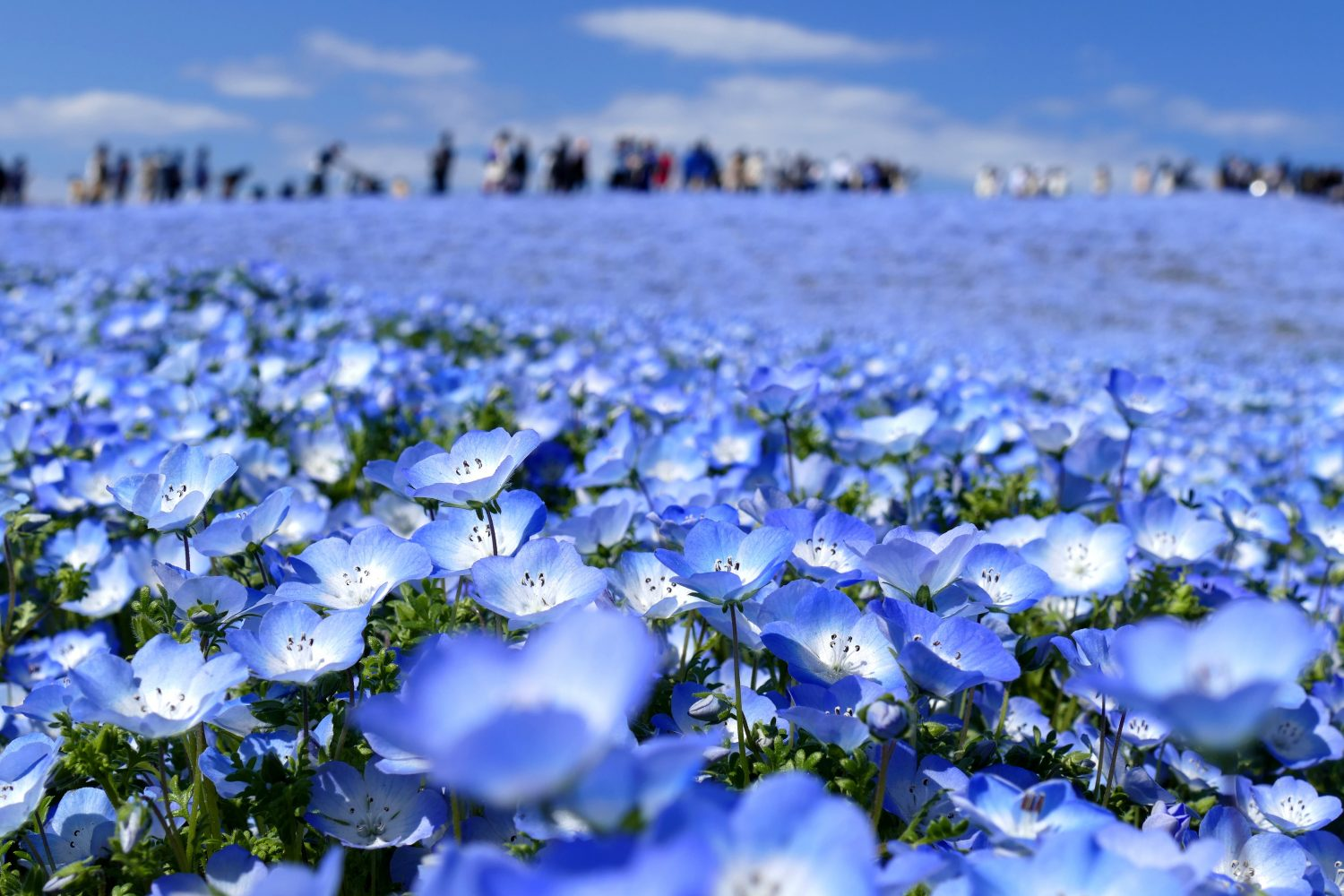 Hitachi Nemophila Festival Private Package Tour