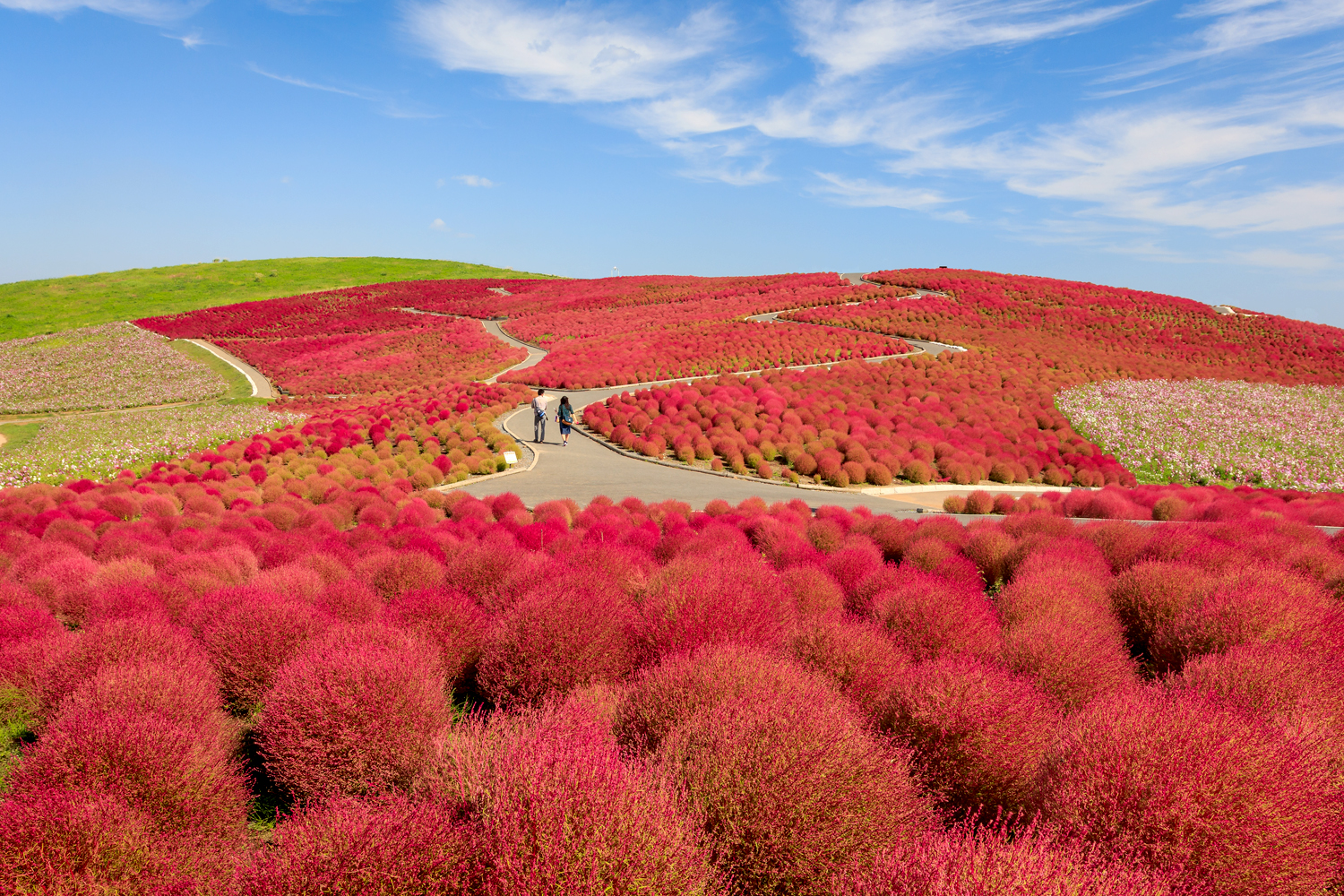 Red Kochia Hitachi Seaside Park Private Package Tour