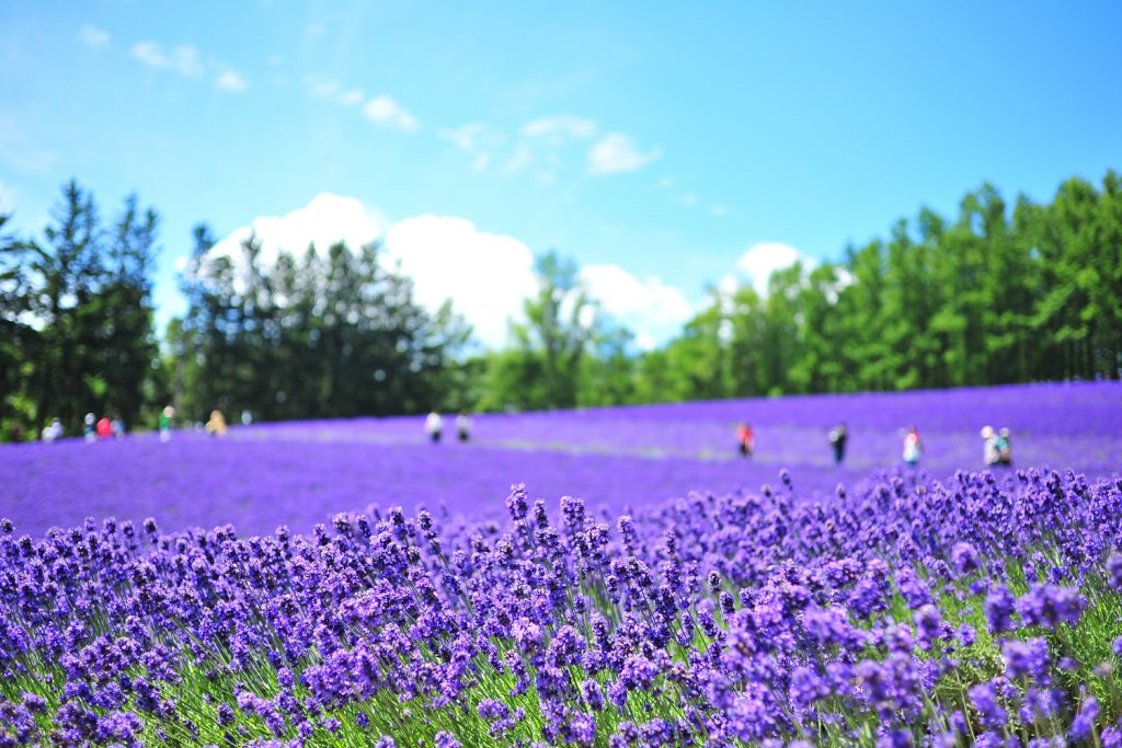 Farm Tomita Lavender East Private Package Tour