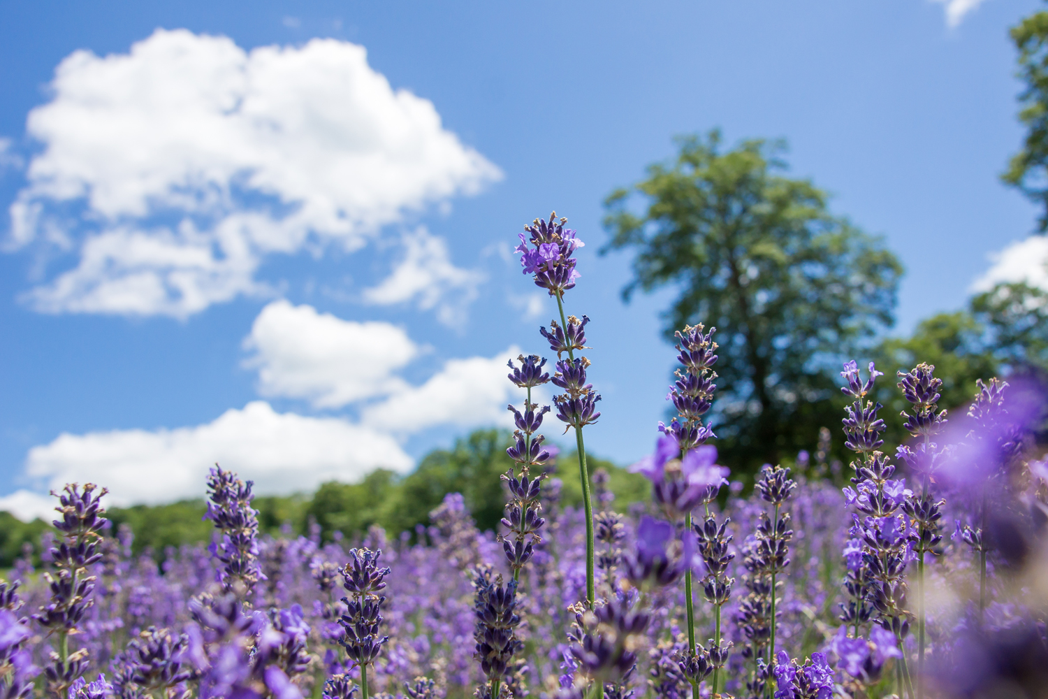 Discover the Largest Lavender Field in Kanto Private Package Tour