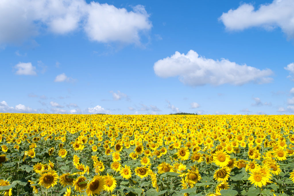 Akeno Sunflower Festival Private Package Tour