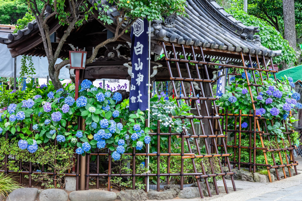 Hydrangea Hakusan Shrine Private Package Tour