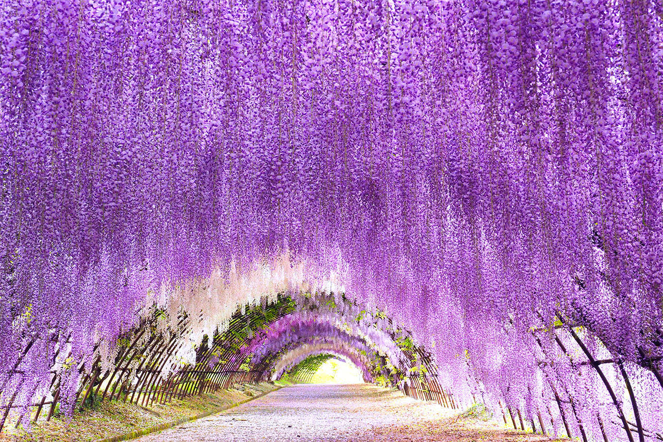 Kawachi Wisteria Tunnel Private Package Tour